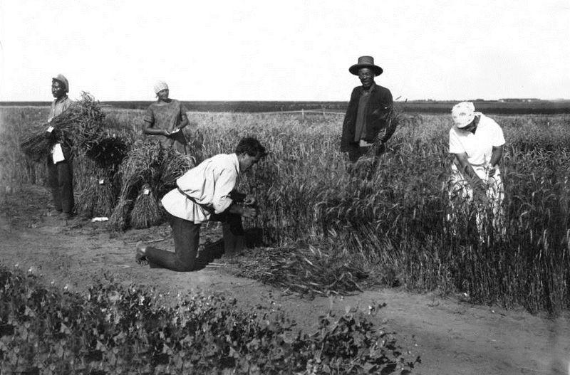 Уборка селекционного питомника яровой пшеницы, 1926