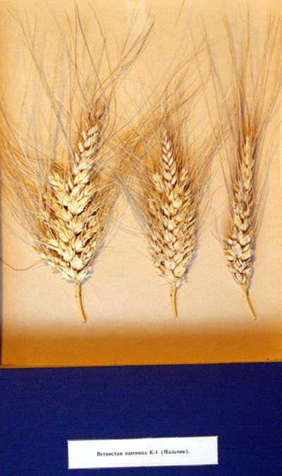 Ветвистая пшеница