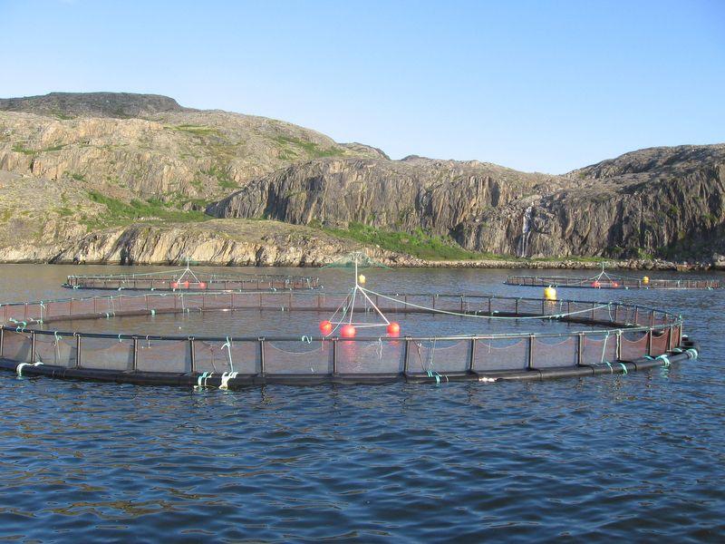 В садках в Мурманской области вырастили 9,9 тысяч тонн рыбы