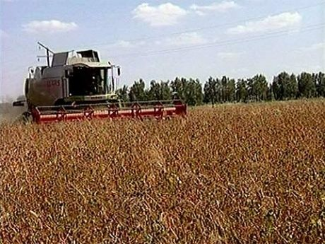 Гречиха посевная выращивание 16